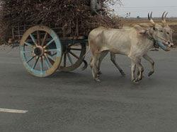 bullock-cart-wheel
